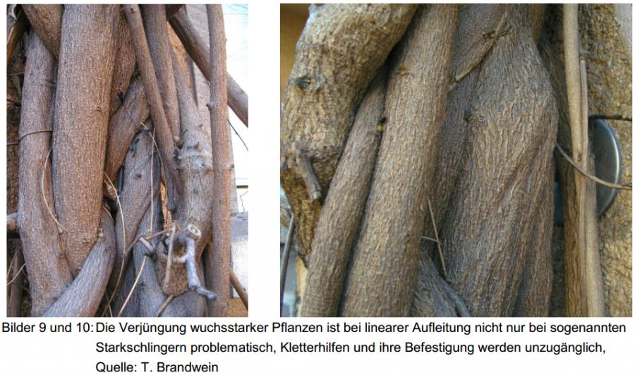 Verjüngung wuchsstarker Pflanzen bei linearer Aufleitung als Befestigung