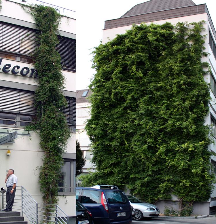 Windlast flächige und lineare Fassadenbegrünung bodengebunden mit Kletterpflanzen an Klettergerüst Kletterhilfe Rankgerüst Rankhilfe