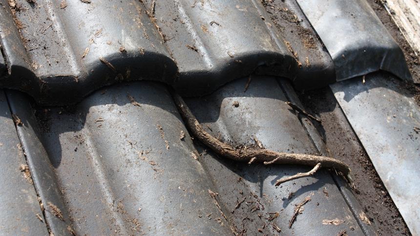 Schaden Dach Efeu Dachziegel Selbstklimmer