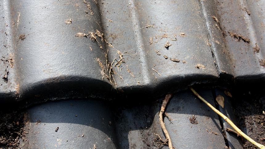 Altersform Efeu Fassadenbegünung Haftwurzeln