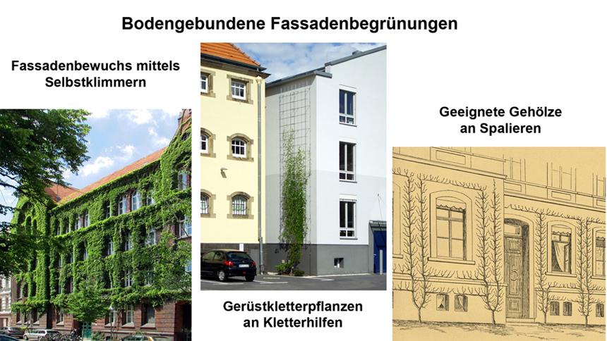 Fassadenbegrünung bodengebunden mit Kletterpflanzen