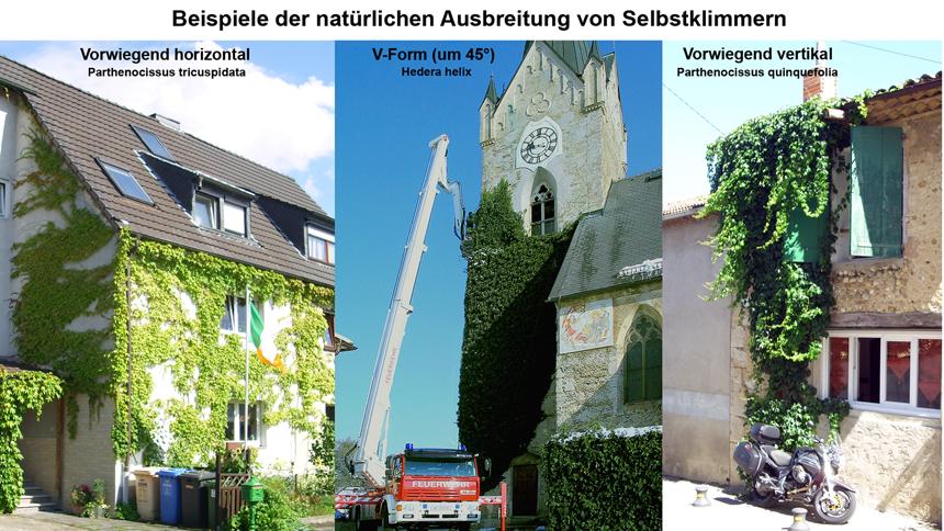 Fassadenbegrünung kritisch