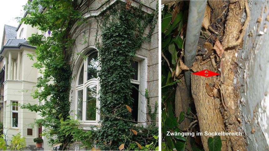Fassadenbegrünung Kletterhilfe Zwängung