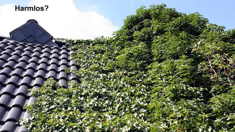 Dachsteine und Efeu - nicht nachhaltig.