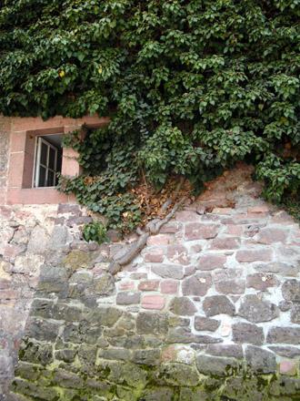 Fassadenbegrünung - Historisches Natursteinmauerwerk von Hedera helix durchwurzelt