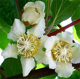 rein weibliche Blüte (Narbe erkennbar)