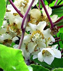 Blüte der Kiwi (weiblich)