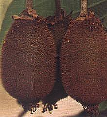 Kiwis - Beeren von Actinidia deliciosa