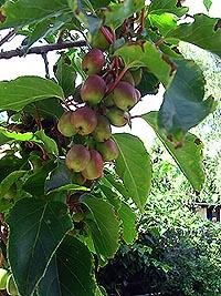 Fruchtbehang Kletterpflanzen,  Kiwi Actinidia arguta