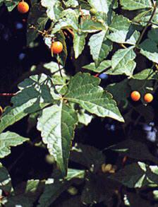 Früchte und Laub einer Ampelopsis (Scheinrebe) geeigent zur Fassadenbegrünung an Polygrün-Kletterhilfen