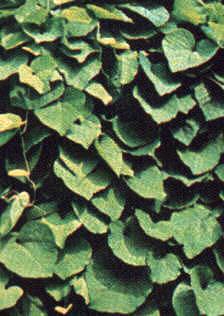 Aristolochia macrophylla schindelartige Blattanordung