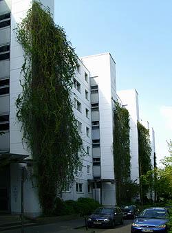 Fallopia baldschuanica, aubertii Polygrün Kletterhilfen Fassadenbegrünung Schlingpflanzen