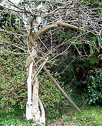 """Blauregen (Wisteria sinensis) """"freistehend"""" an Gartenleuchte"""