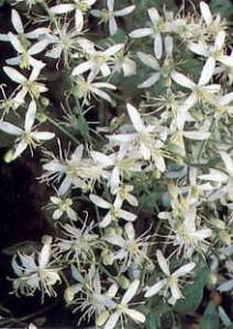 Clematis-maximowicziana Blüte der Oktober-Waldrebe