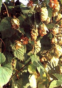 Humulus lupulus Frucht der Hopfenstaude