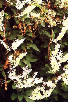 Blüte und Nüsschen von Fallopia aubertii Knöterich, Schlingknöterich, (Polygonum)