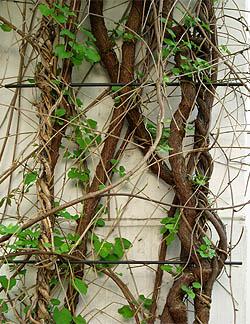 Fallopia aubertii dominiert gegenüber Lonicera henryi und Parthenocissus. Fassadenbegrünung, Polygrün Kletterhilfe