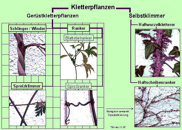 Image 16: Practice-orientated categorization of climbing plants / twiners / creepers according to climbing strategy
