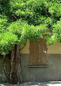 Sommer-, bzw. Nachblüte von Wisteria sinensis Foto: Manosque (F) 2007