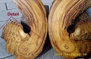 Aufgeschnittener Knick (Windung) eines Stammes/Astes von Wisteria-sinensis Die abgewinkelten Schnitte zeigen das Holz längs (oben) und quer zur Faser (unten). Im Faserquerschnitt dieses Blauregen-Holzes ist ein dünnerer Trieb zu erkennen, der trotz Umwindung durch den äußeren (dickeren) nicht fest mit diesem verwachsen ist. Auf halber Höhe des Bildes ist der Abdruck des Rundprofiles (D = 18 mm) erkennbar, um das sich die beiden Triebe geschlungen hatten. Die Bilder (oben und unten) entstanden auf Pflaster im Format 10 x 20 cm.